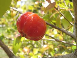 Acerola - naravni vitamin C